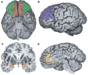 Funzioni Esecutive: il cervello